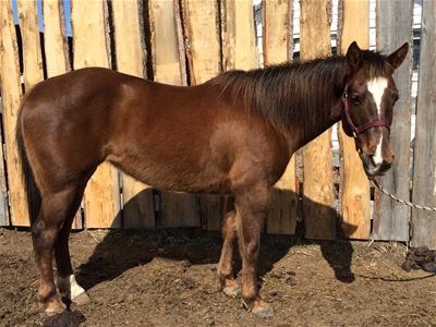 Sassy - Barrel Horse