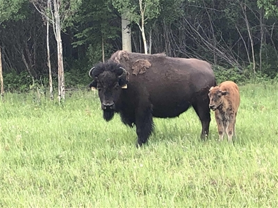 BISON BULL CALVES (APPROX 30)