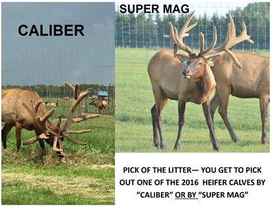 Pick of the Litter - 2016 Heifer Calf by Caliber or Super Mag